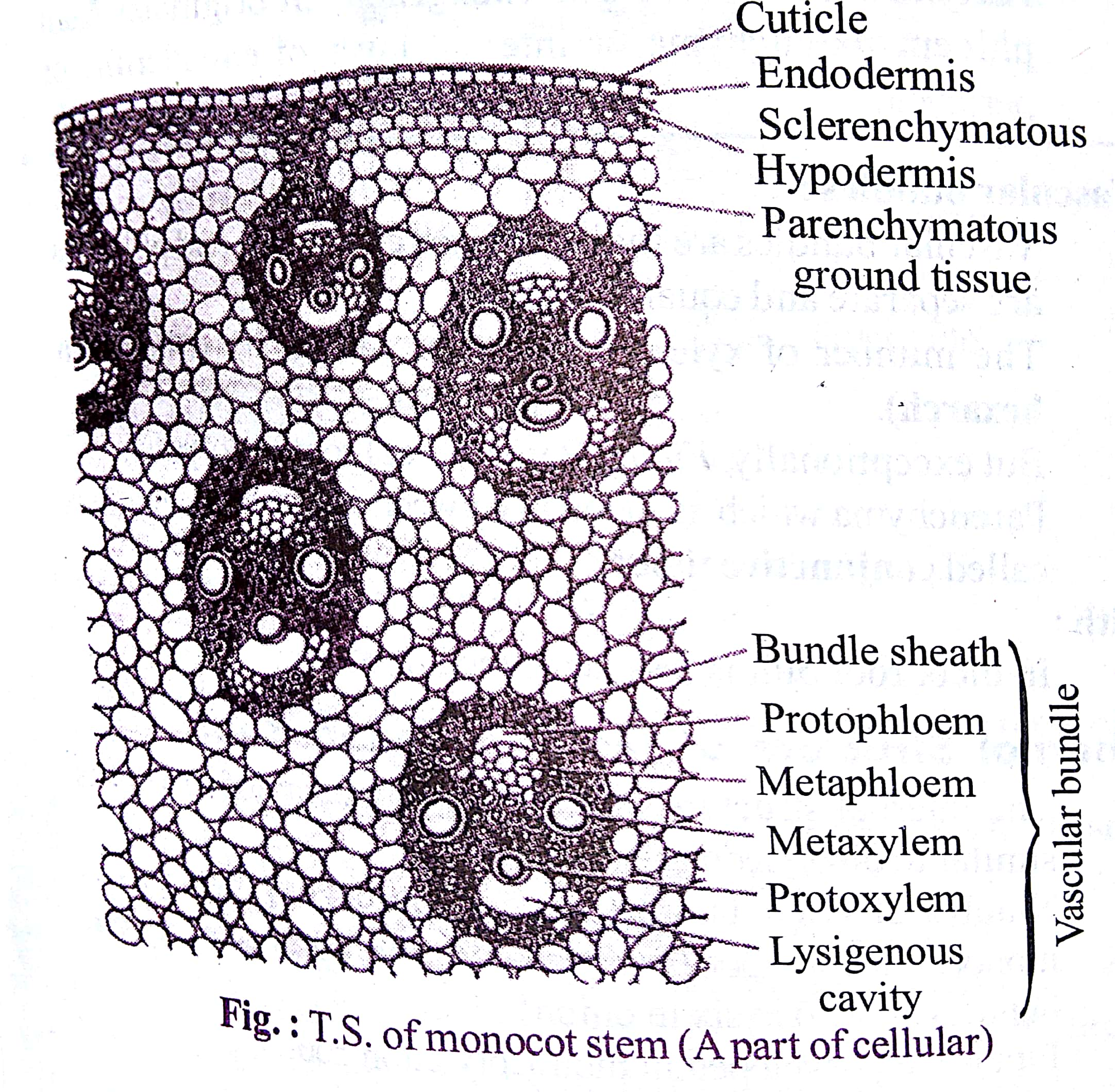 Internal Structure of Monocot Stem