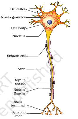 Answer Please Nissl Bodies Are Mainly Composed Of A nissl body (or nissl granule or tigroid body) is a large granular body found in neurons. nissl bodies are mainly composed of